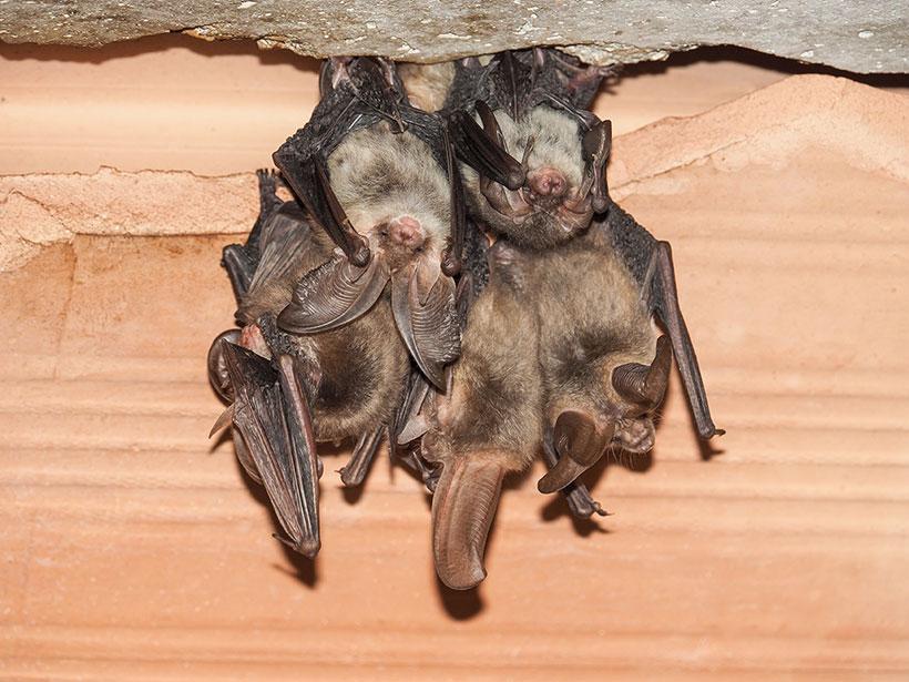 bat control affiliation